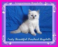 Aragormore Ragdolls