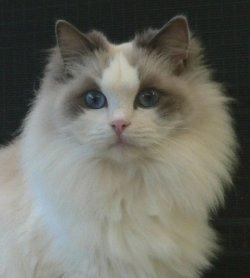 Our gorgeous Ragdoll kittens