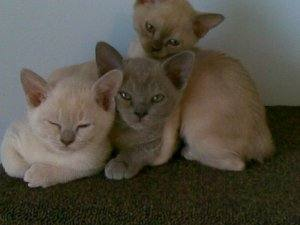 My wonderful Burmese kittens