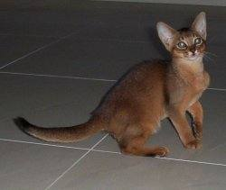 Cenglow Abyssinians