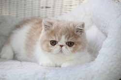 Mybenj Exotic Shorthairs & Persians