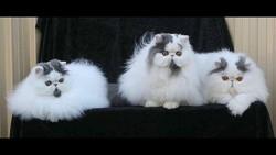 Shawtop Persians