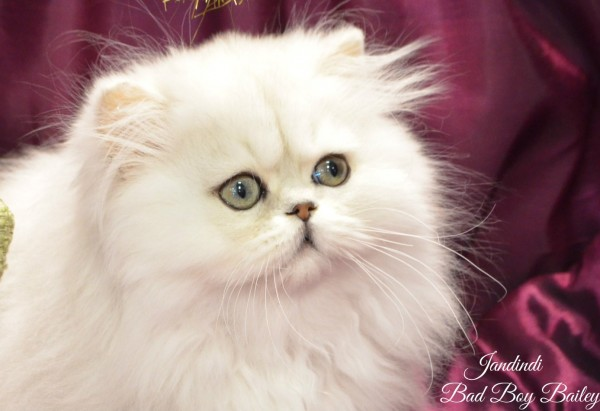 Jandindi Exotic Shorthairs & Persians