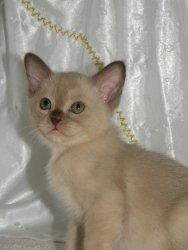 Kittykatz Burmese