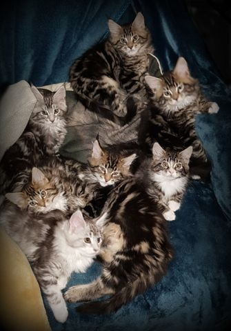 Yendor Maine Coons